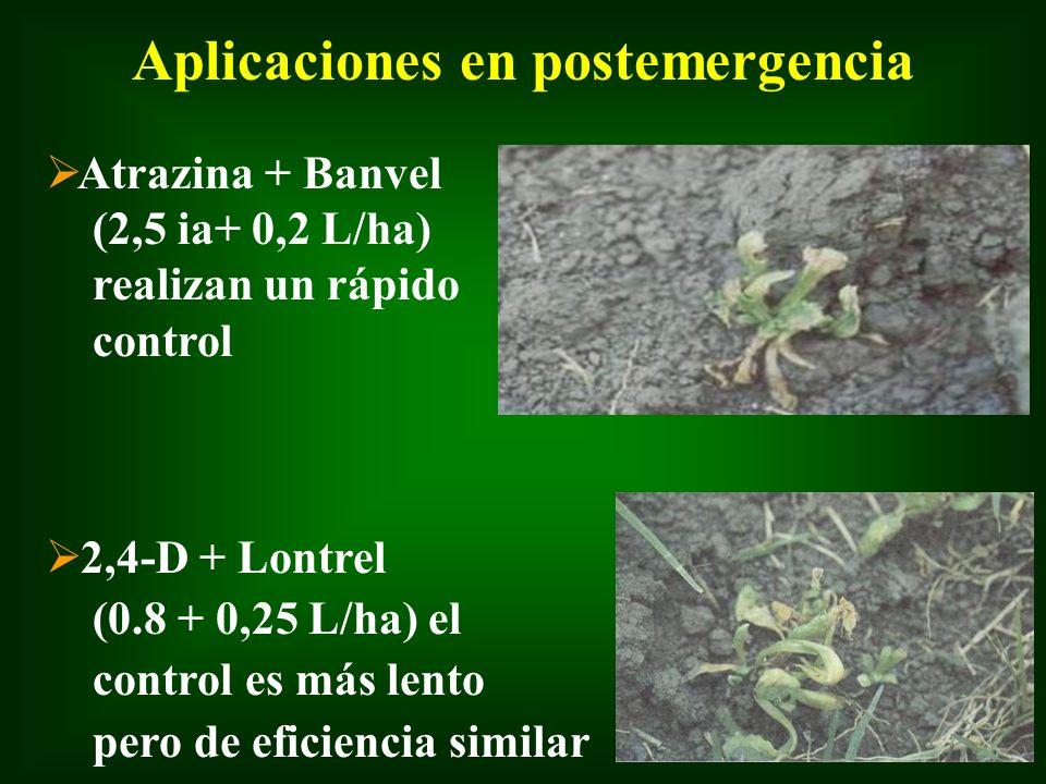 Aplicaciones en postemergencia Ø Atrazina + Banvel (2,5 ia+ 0,2 L/ha) realizan un rápido control Ø 2,4-D + Lontrel (0.8 + 0,25 L/ha) el control es más
