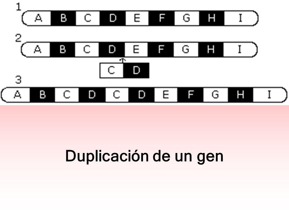 Duplicación de un gen