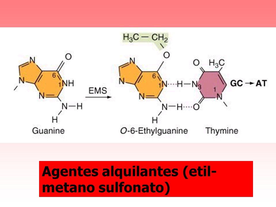 Agentes alquilantes (etil- metano sulfonato)