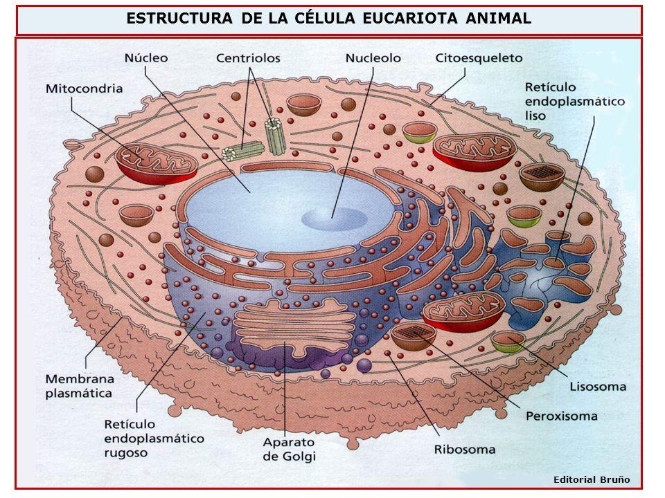 ESTRUCTURA DE LA CÉLULA EUCARIOTA ANIMAL Editorial Bruño