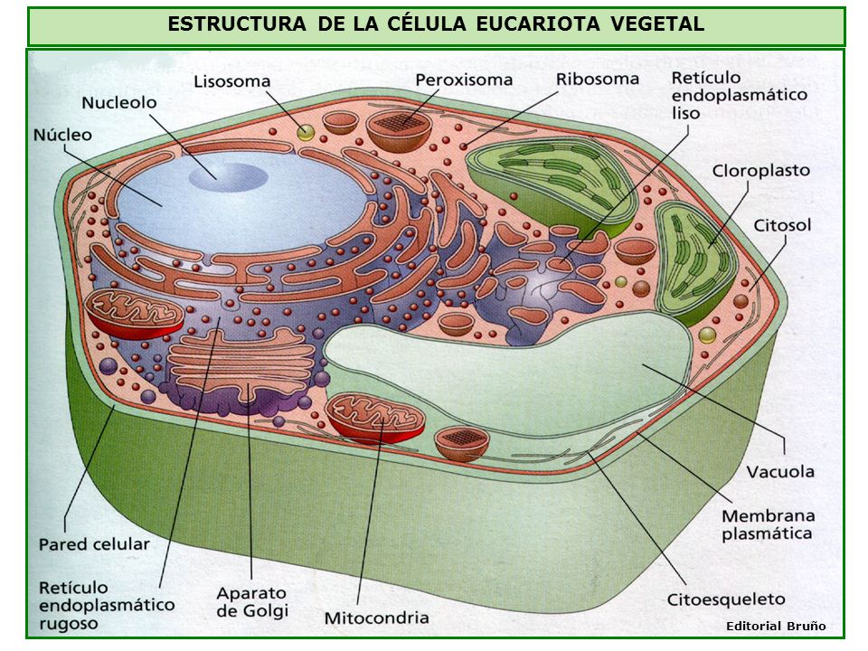 ESTRUCTURA DE LA CÉLULA EUCARIOTA VEGETAL Editorial Bruño