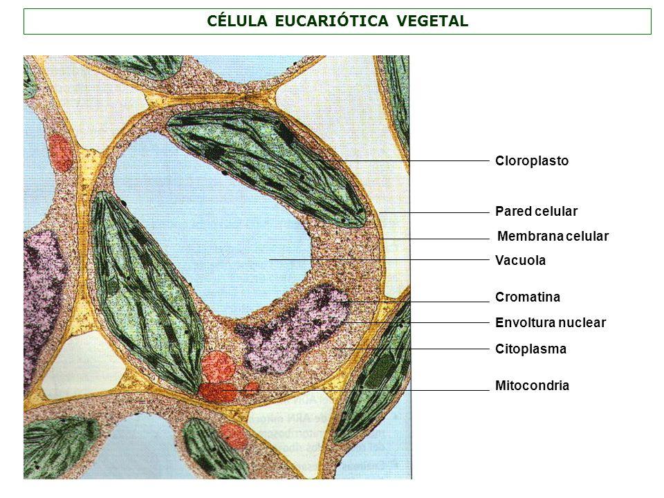 CÉLULA EUCARIÓTICA VEGETAL Vacuola Citoplasma Mitocondria Cloroplasto Membrana celular Envoltura nuclear Cromatina Pared celular