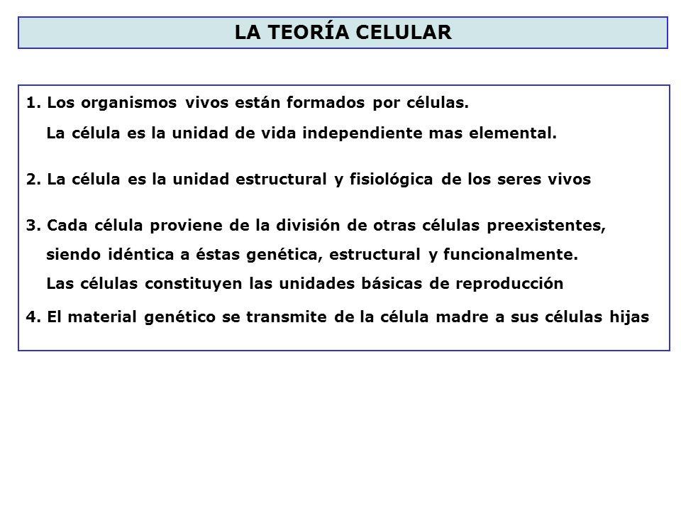 1. Los organismos vivos están formados por células. La célula es la unidad de vida independiente mas elemental. 2. La célula es la unidad estructural