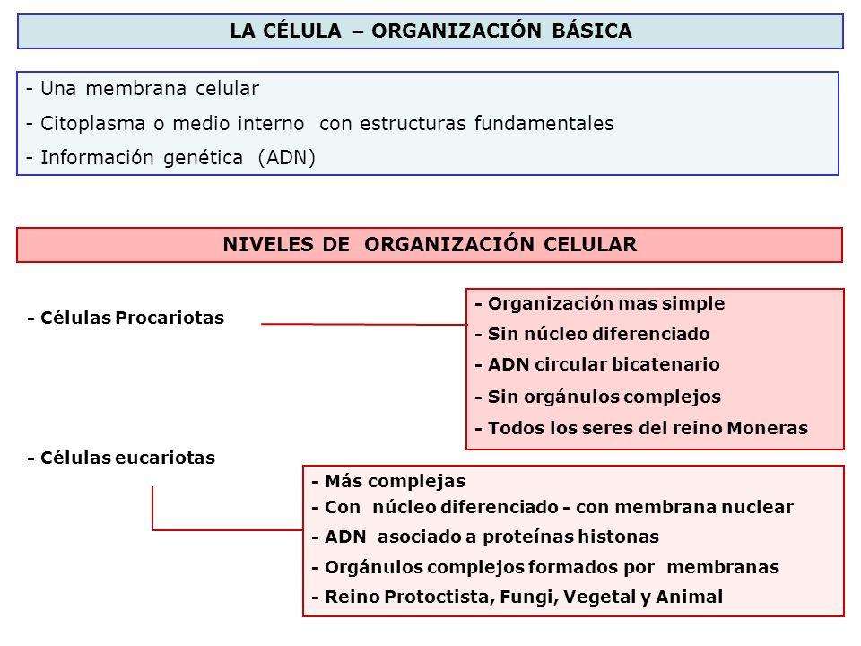 LA CÉLULA – ORGANIZACIÓN BÁSICA - Una membrana celular - Citoplasma o medio interno con estructuras fundamentales - Información genética (ADN) NIVELES