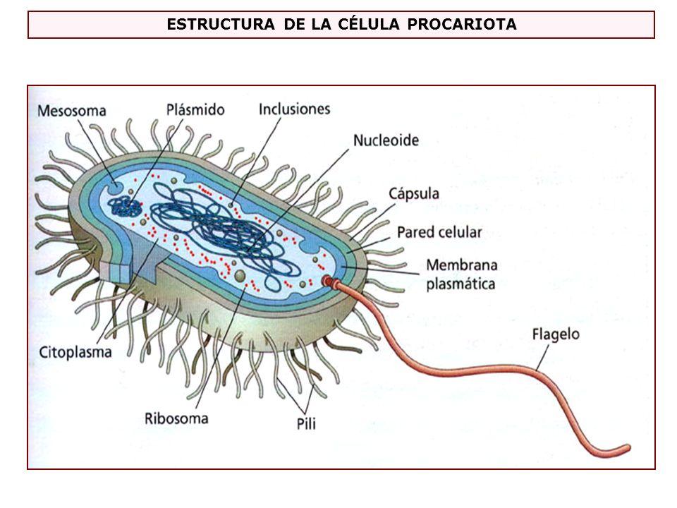 Envolturas Cápsula (no todas las células) Pared celular (excepto los Micoplasmas) Membrana celular (todas las células) Definición - célula sin núcleo diferenciado Tamaño - entre 1 y 5 milésimas de mm Organización Citoplasma y estructuras ADN cromosoma bacteriano llamado Nucleoide Plásmidosmoléculas pequeñas de ADN con diversas funciones Mesosomasrepliegues de la membrana con complejos enzimáticos para Respiración Ribosomasestructuras formadas por ARN y proteínas su función – síntesis de proteínas Inclusionescon sustancias de reserva
