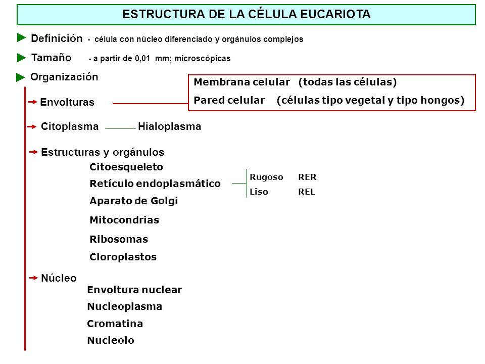 ESTRUCTURA DE LA CÉLULA EUCARIOTA Membrana celular (todas las células) Pared celular (células tipo vegetal y tipo hongos) Definición - célula con núcl