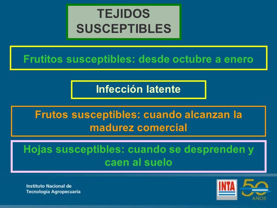 TEJIDOS SUSCEPTIBLES Frutitos susceptibles: desde octubre a enero Hojas susceptibles: cuando se desprenden y caen al suelo Infección latente Frutos susceptibles: cuando alcanzan la madurez comercial