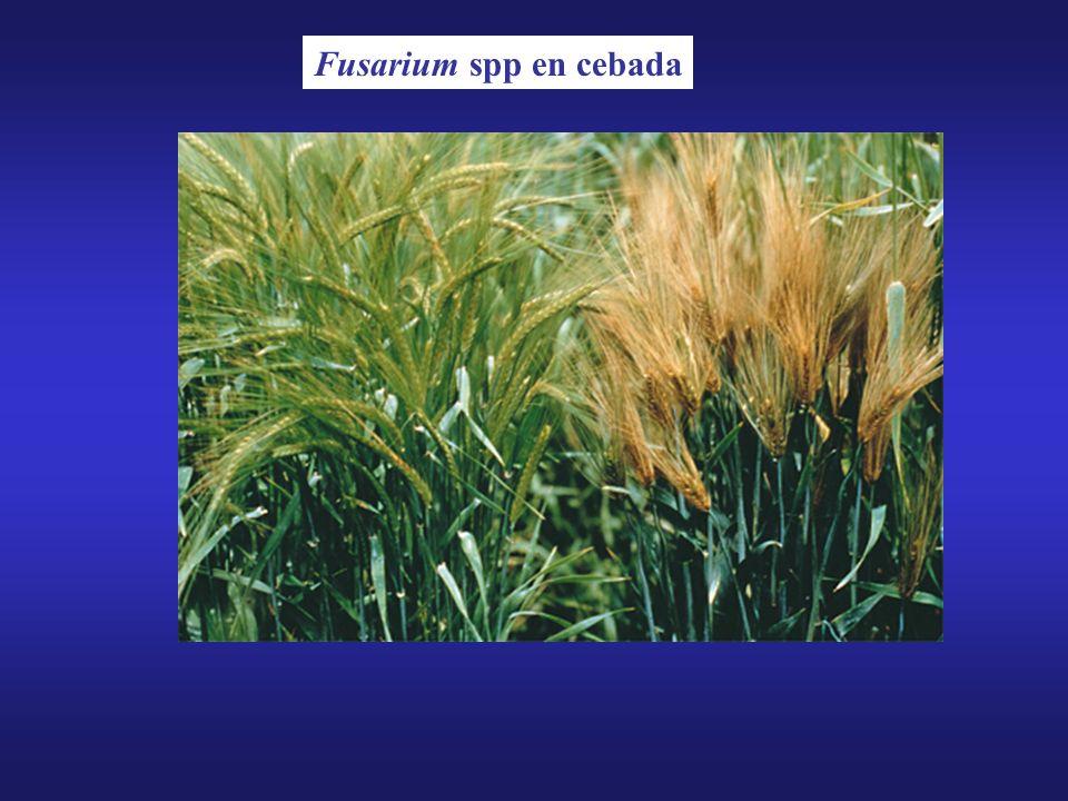 Fusarium spp en cebada