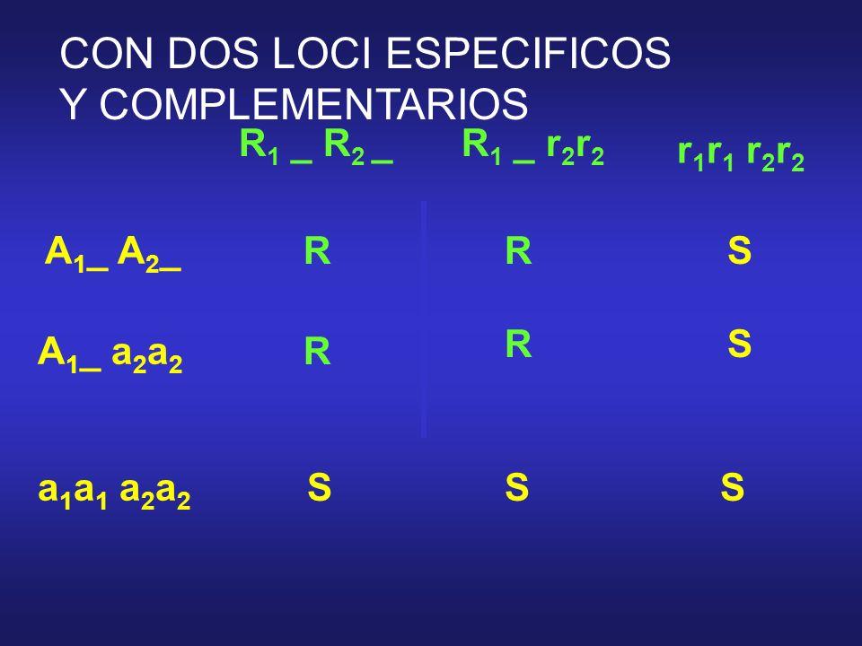 R 1 _ R 2 _ r 1 r 1 r 2 r 2 A 1 _ A 2 _ a 1 a 1 a 2 a 2 R 1 _ r 2 r 2 A 1 _ a 2 a 2 RRS R RS SSS CON DOS LOCI ESPECIFICOS Y COMPLEMENTARIOS