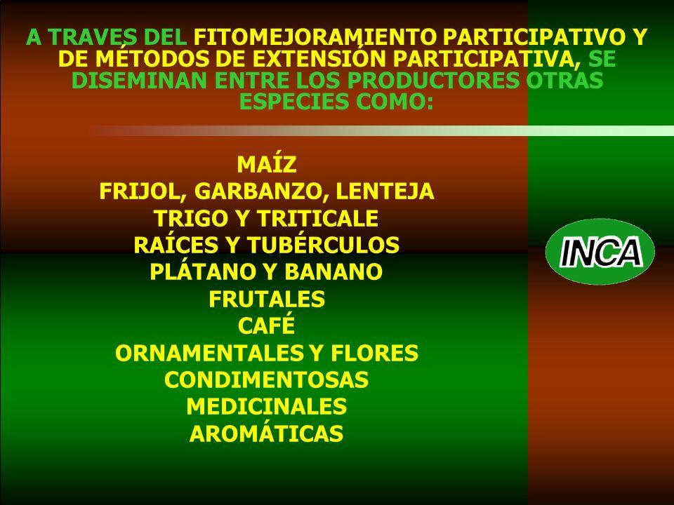 A TRAVES DEL FITOMEJORAMIENTO PARTICIPATIVO Y DE MÉTODOS DE EXTENSIÓN PARTICIPATIVA, SE DISEMINAN ENTRE LOS PRODUCTORES OTRAS ESPECIES COMO: MAÍZ FRIJOL, GARBANZO, LENTEJA TRIGO Y TRITICALE RAÍCES Y TUBÉRCULOS PLÁTANO Y BANANO FRUTALES CAFÉ ORNAMENTALES Y FLORES CONDIMENTOSAS MEDICINALES AROMÁTICAS