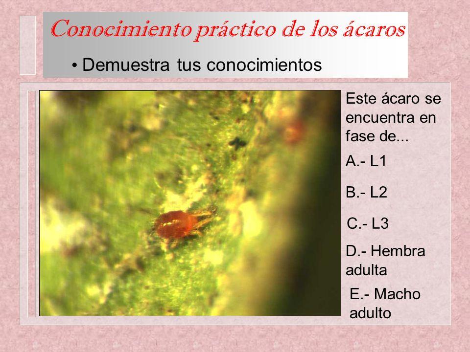 Este ácaro se encuentra en fase de... A.- L1 B.- L2 C.- L3 D.- Hembra adulta E.- Macho adulto Conocimiento práctico de los ácaros Demuestra tus conoci