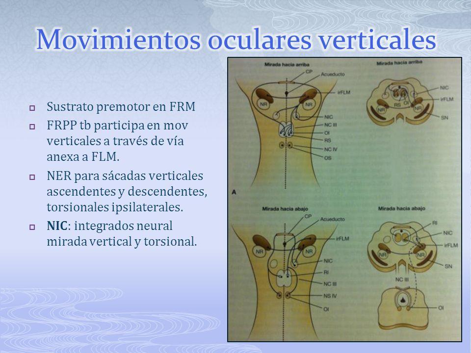 Sustrato premotor en FRM FRPP tb participa en mov verticales a través de vía anexa a FLM. NER para sácadas verticales ascendentes y descendentes, tors