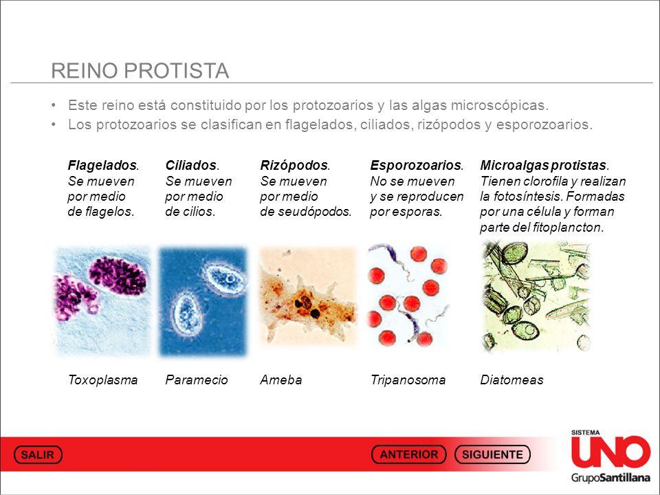 Este reino está constituido por los protozoarios y las algas microscópicas.