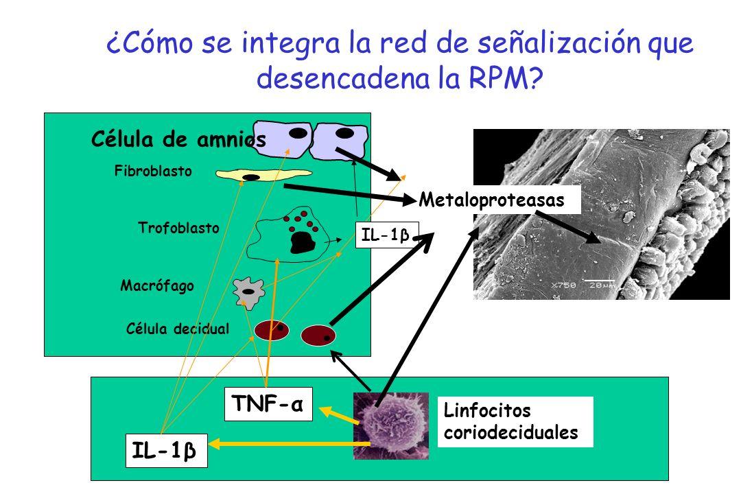 Célula de amnios Fibroblasto Trofoblasto Macrófago Célula decidual ¿Cómo se integra la red de señalización que desencadena la RPM? TNF-α IL-1β Linfoci