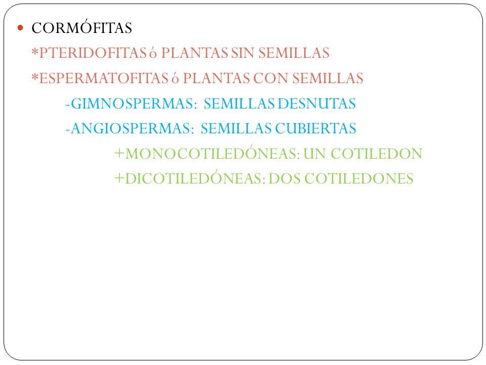 CORMÓFITAS *PTERIDOFITAS ó PLANTAS SIN SEMILLAS *ESPERMATOFITAS ó PLANTAS CON SEMILLAS -GIMNOSPERMAS: SEMILLAS DESNUTAS -ANGIOSPERMAS: SEMILLAS CUBIERTAS +MONOCOTILEDÓNEAS: UN COTILEDON +DICOTILEDÓNEAS: DOS COTILEDONES