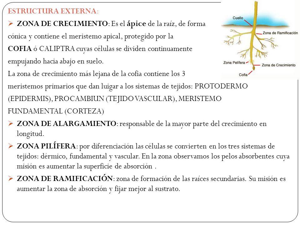 ESTRUCTURA EXTERNA: ZONA DE CRECIMIENTO: Es el ápice de la raíz, de forma cónica y contiene el meristemo apical, protegido por la COFIA ó CALIPTRA cuyas células se dividen continuamente empujando hacia abajo en suelo.