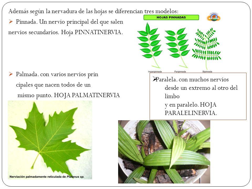 Además según la nervadura de las hojas se diferencian tres modelos: Pinnada.