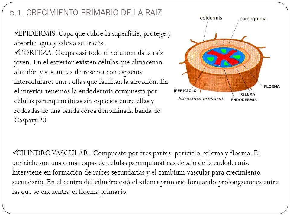 5.1.CRECIMIENTO PRIMARIO DE LA RAIZ CILINDRO VASCULAR.