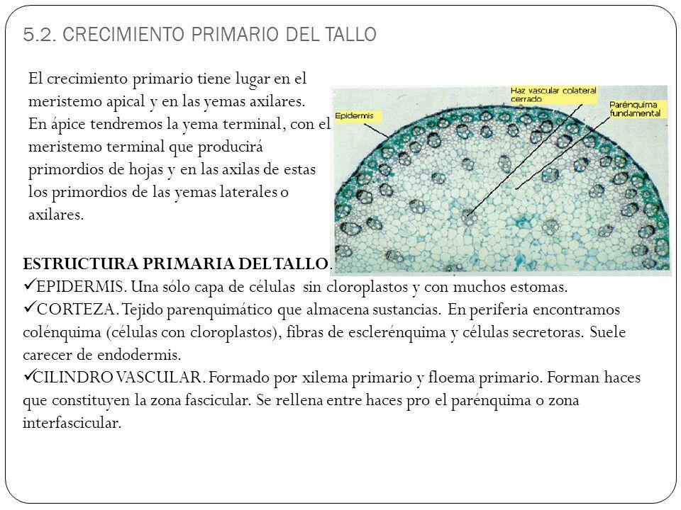 5.2.CRECIMIENTO PRIMARIO DEL TALLO ESTRUCTURA PRIMARIA DEL TALLO.