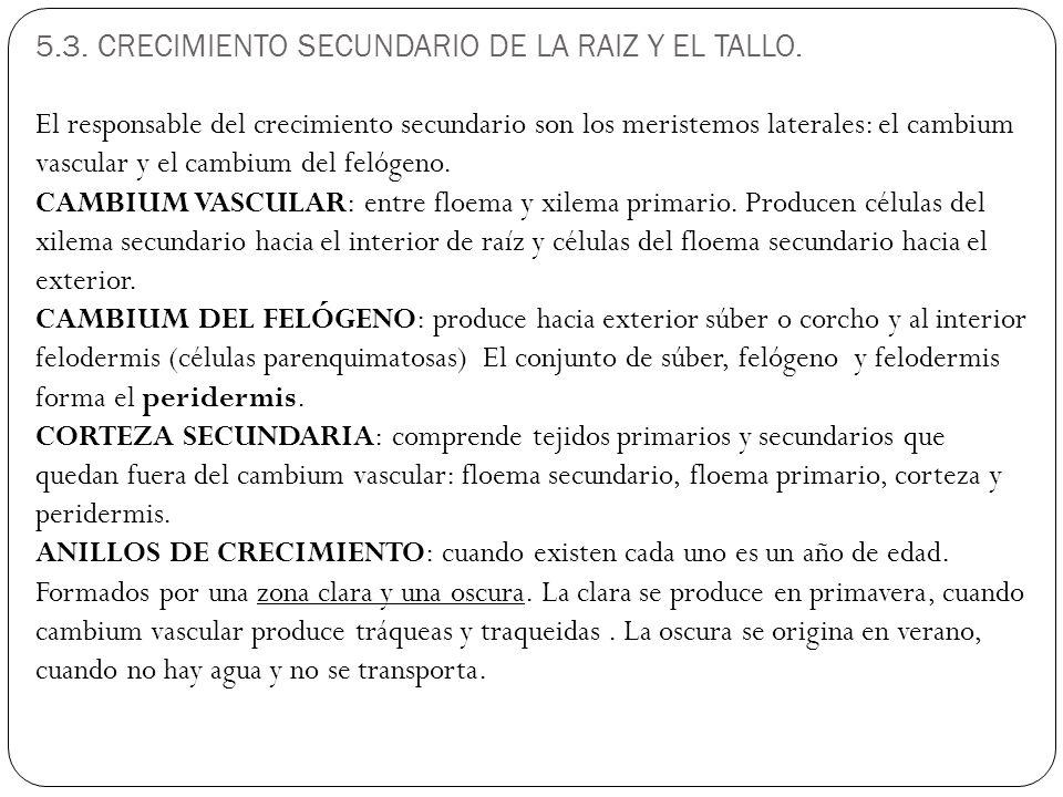 5.3.CRECIMIENTO SECUNDARIO DE LA RAIZ Y EL TALLO.