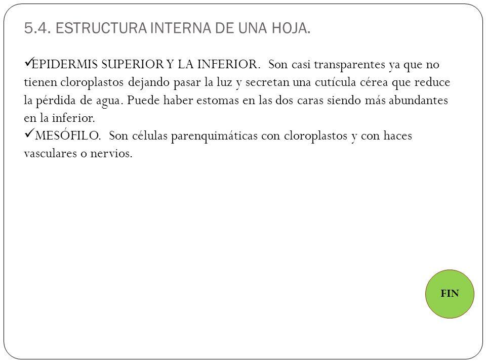 5.4.ESTRUCTURA INTERNA DE UNA HOJA. EPIDERMIS SUPERIOR Y LA INFERIOR.