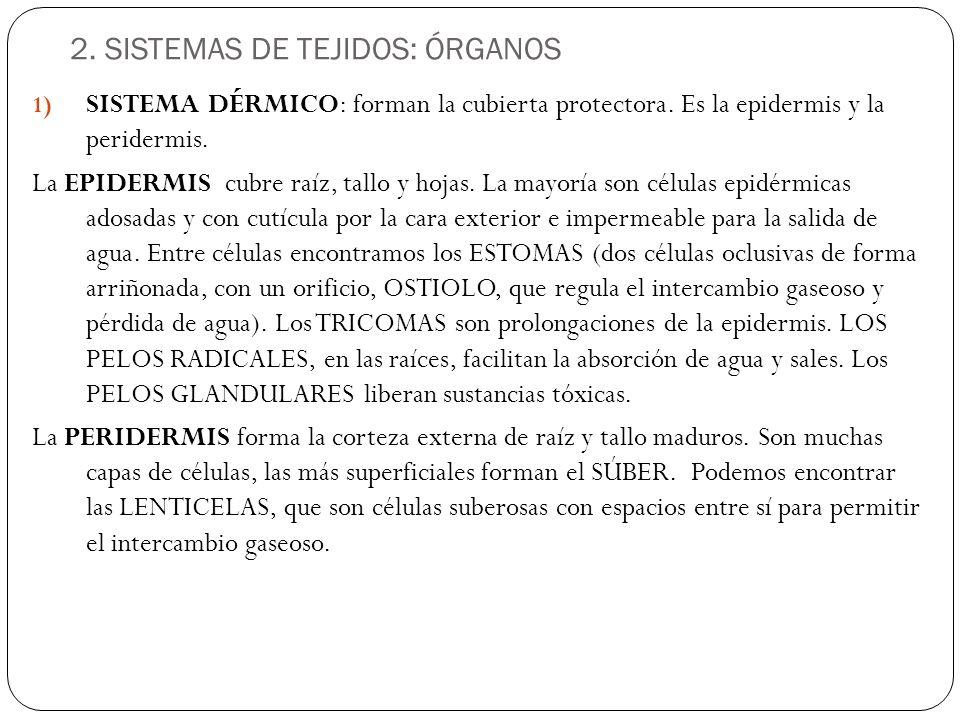 2.SISTEMAS DE TEJIDOS: ÓRGANOS 1) SISTEMA DÉRMICO: forman la cubierta protectora.