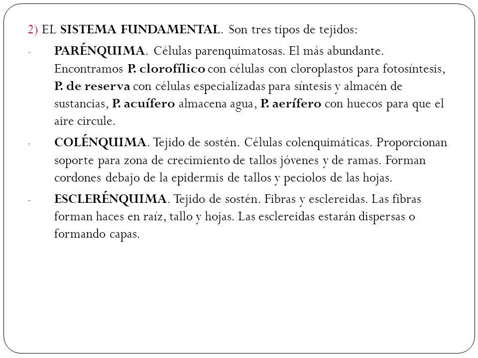2) EL SISTEMA FUNDAMENTAL.Son tres tipos de tejidos: - PARÉNQUIMA.