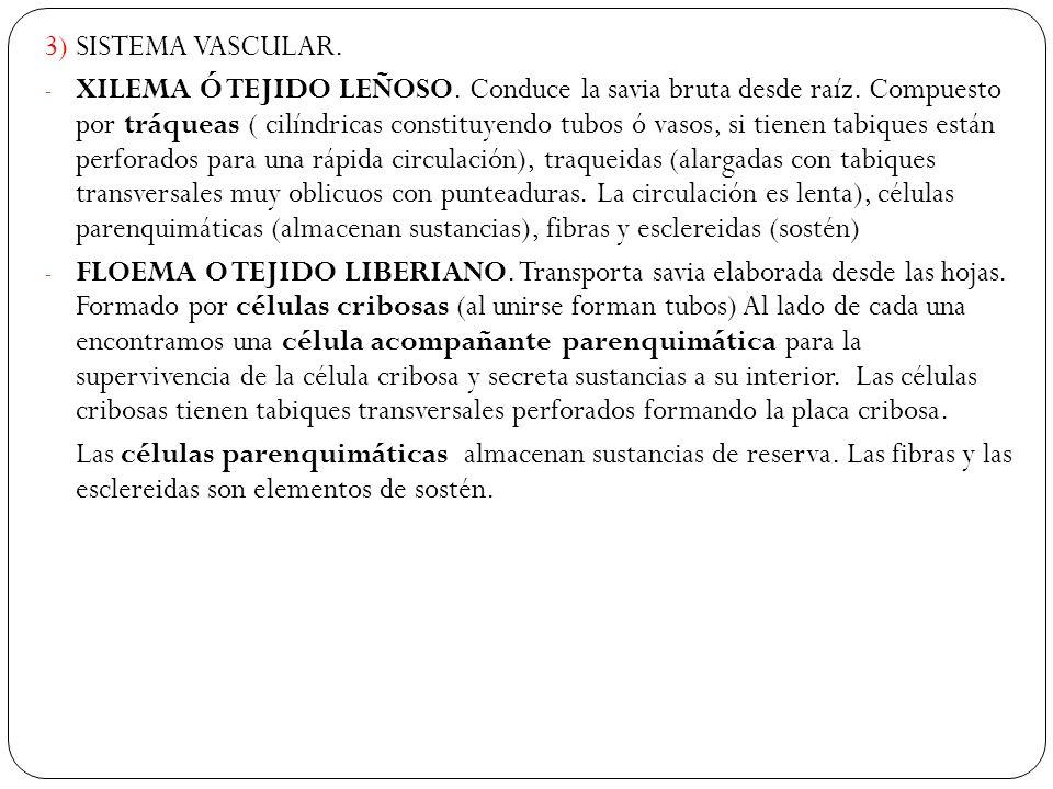 3) SISTEMA VASCULAR.- XILEMA Ó TEJIDO LEÑOSO. Conduce la savia bruta desde raíz.