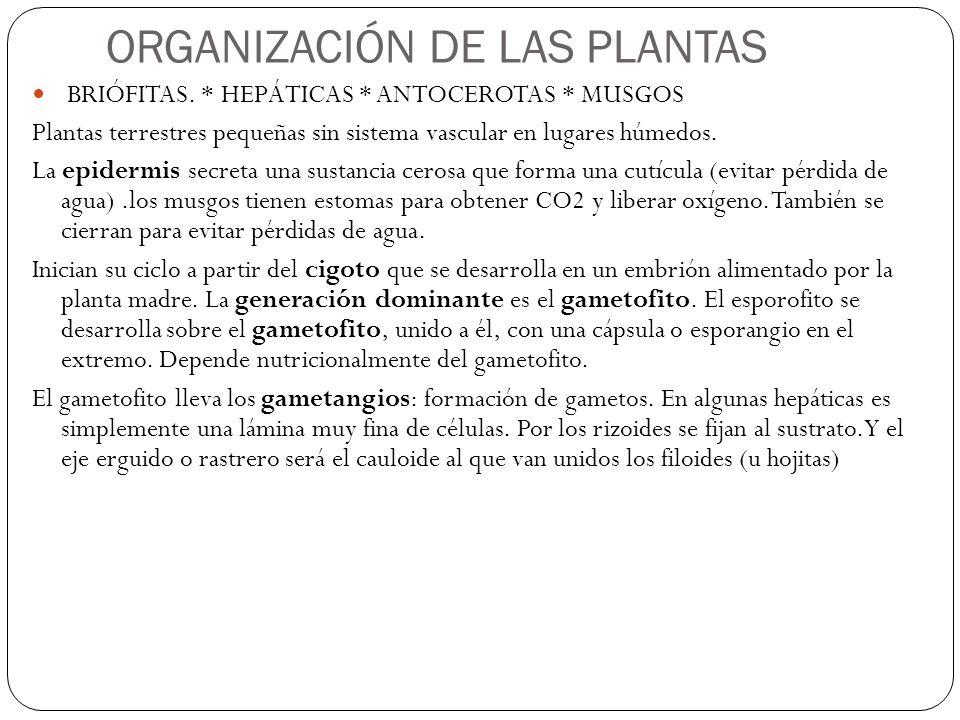 ORGANIZACIÓN DE LAS PLANTAS BRIÓFITAS.