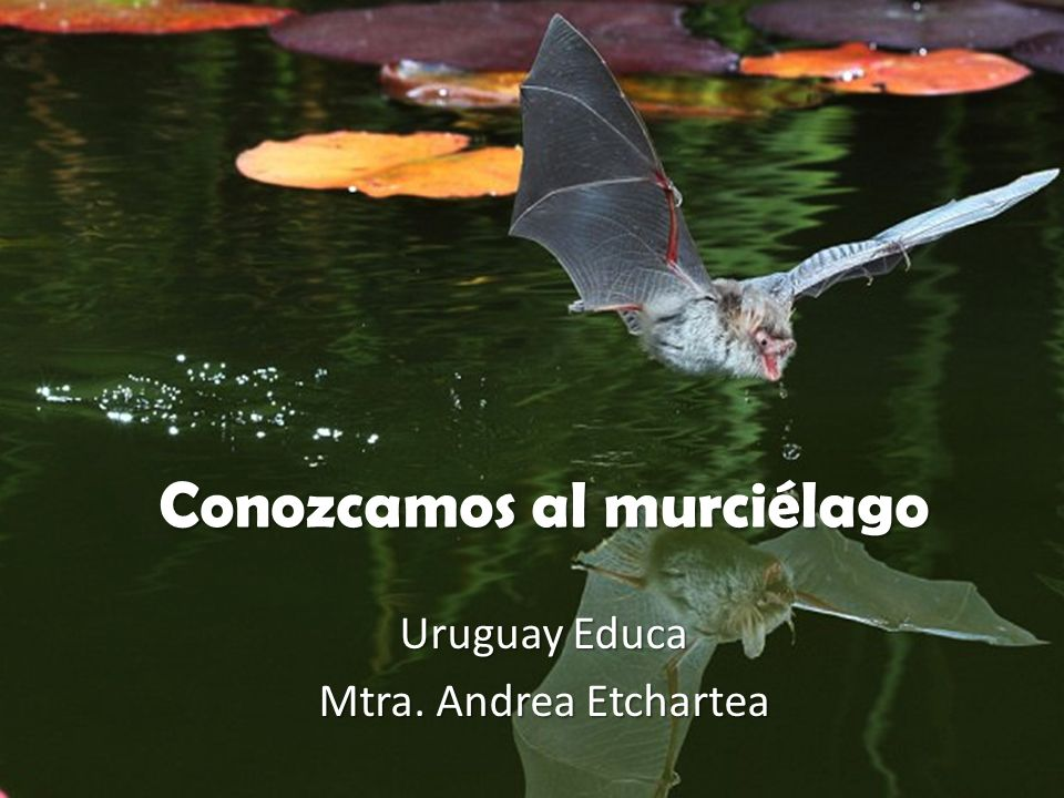 Conozcamos al murciélago Uruguay Educa Mtra. Andrea Etchartea