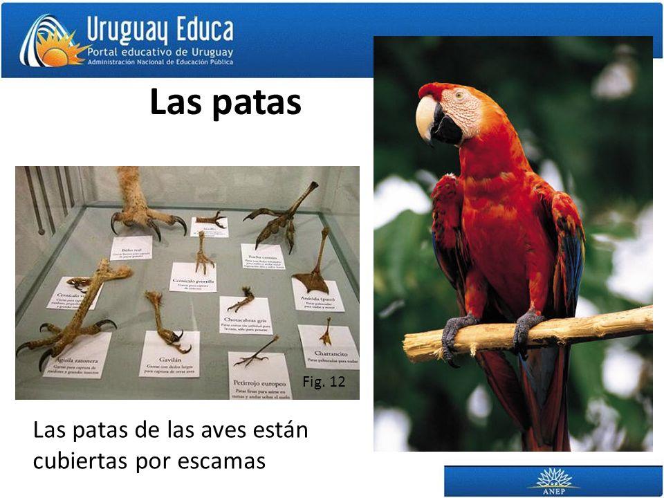 Las patas Las patas de las aves están cubiertas por escamas Fig. 12