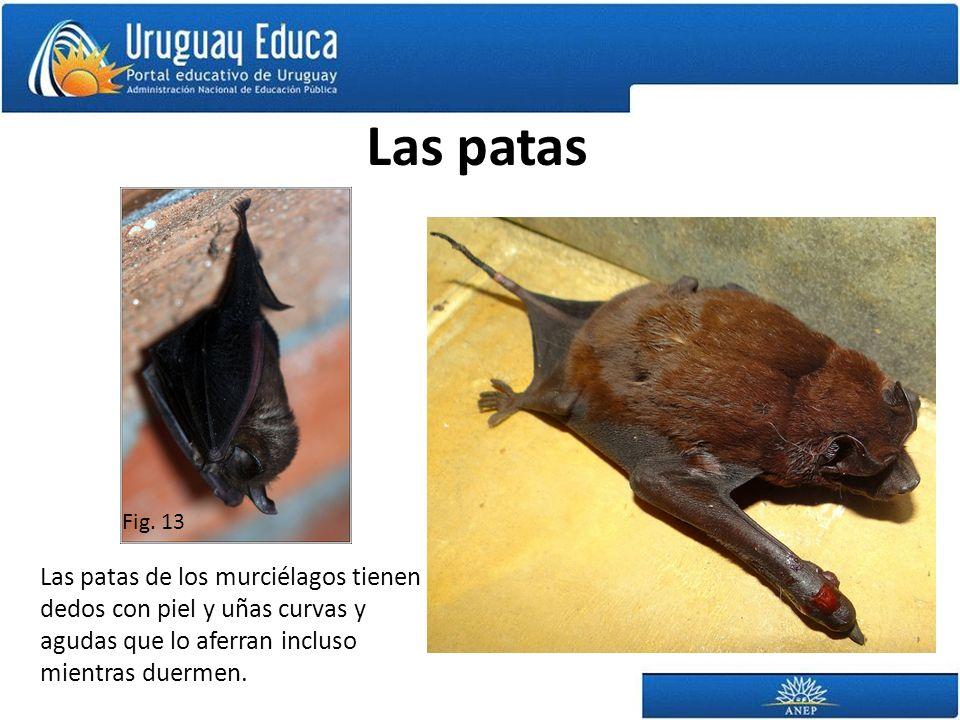 Las patas Las patas de los murciélagos tienen dedos con piel y uñas curvas y agudas que lo aferran incluso mientras duermen. Fig. 13