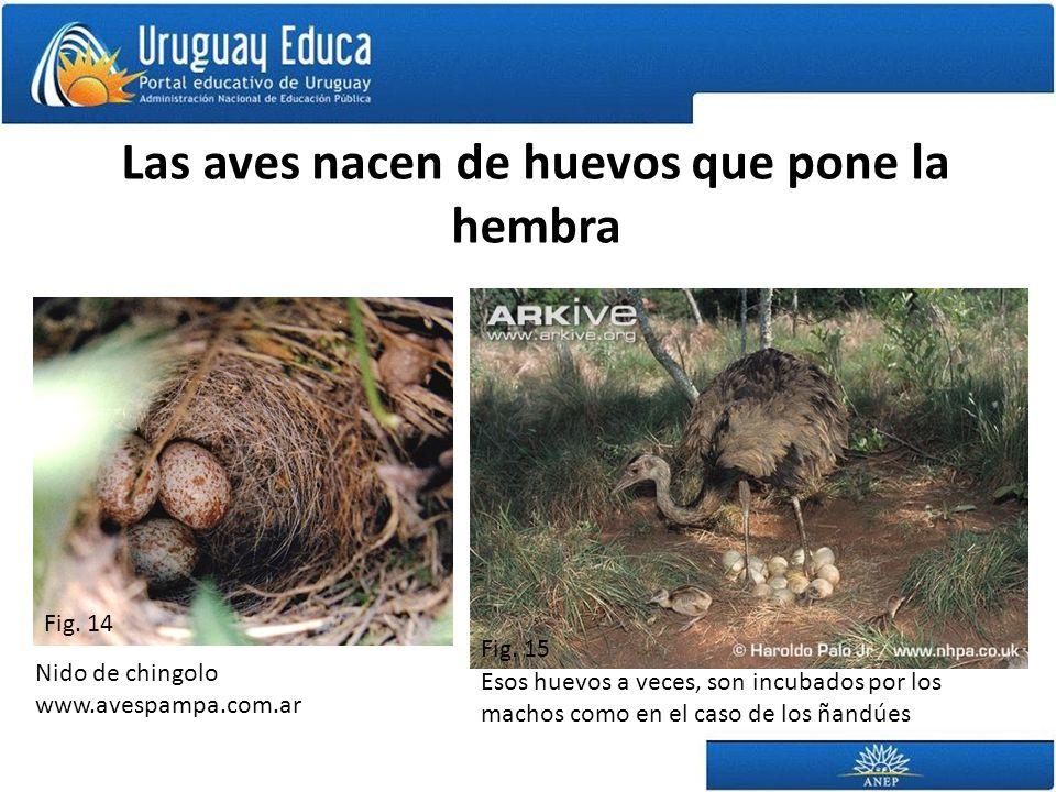 Las aves nacen de huevos que pone la hembra Nido de chingolo www.avespampa.com.ar Esos huevos a veces, son incubados por los machos como en el caso de