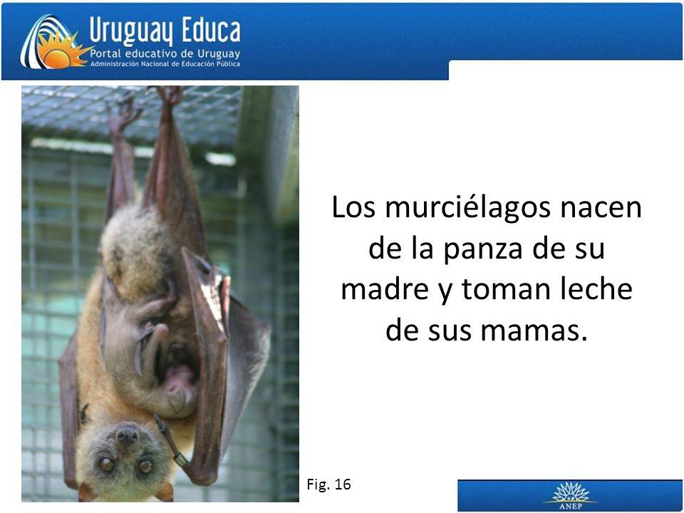 Los murciélagos nacen de la panza de su madre y toman leche de sus mamas. Fig. 16