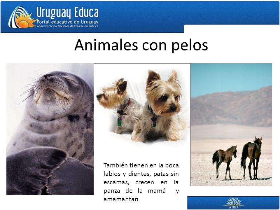 Animales con pelos También tienen en la boca labios y dientes, patas sin escamas, crecen en la panza de la mamá y amamantan