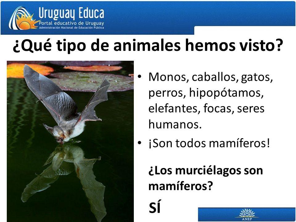 ¿Qué tipo de animales hemos visto? Monos, caballos, gatos, perros, hipopótamos, elefantes, focas, seres humanos. ¡Son todos mamíferos! ¿Los murciélago
