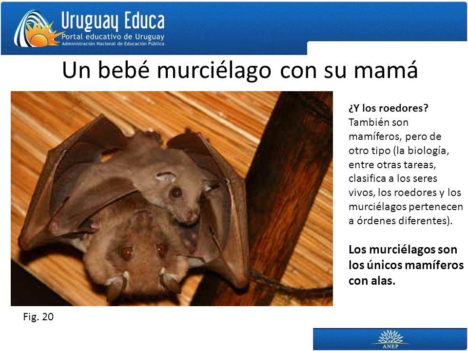 Un bebé murciélago con su mamá ¿Y los roedores? También son mamíferos, pero de otro tipo (la biología, entre otras tareas, clasifica a los seres vivos