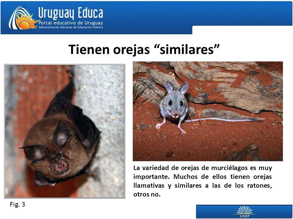 Tienen orejas similares La variedad de orejas de murciélagos es muy importante.