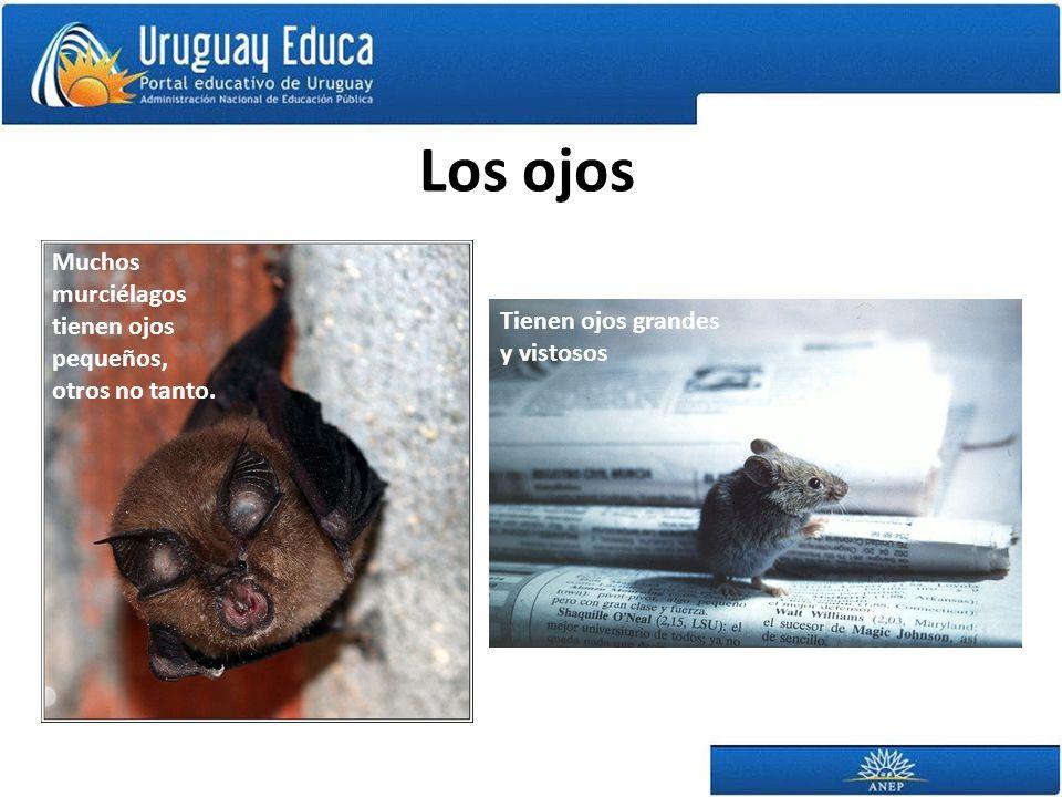 Los ojos Tienen ojos grandes y vistosos Muchos murciélagos tienen ojos pequeños, otros no tanto.