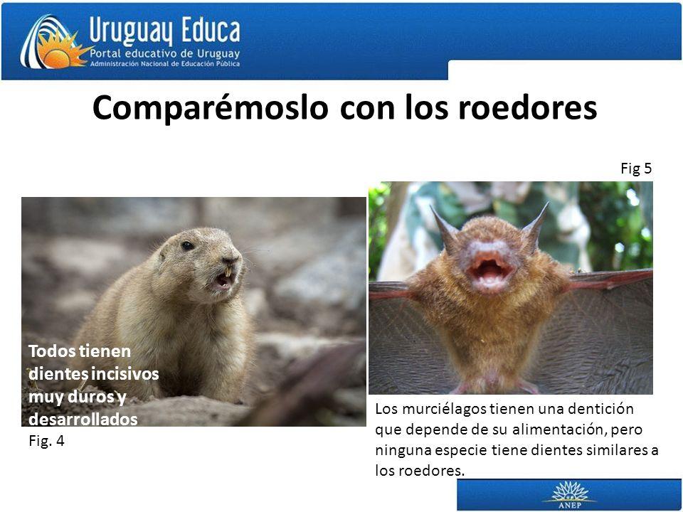 Comparémoslo con los roedores Todos tienen dientes incisivos muy duros y desarrollados Los murciélagos tienen una dentición que depende de su alimentación, pero ninguna especie tiene dientes similares a los roedores.