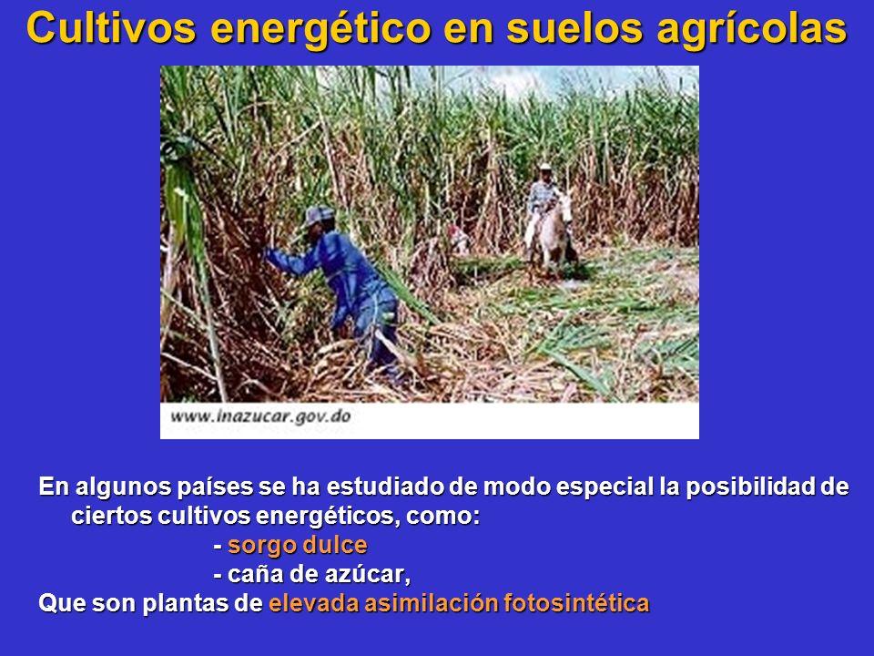 Cultivos energético en suelos agrícolas En algunos países se ha estudiado de modo especial la posibilidad de ciertos cultivos energéticos, como: - sor