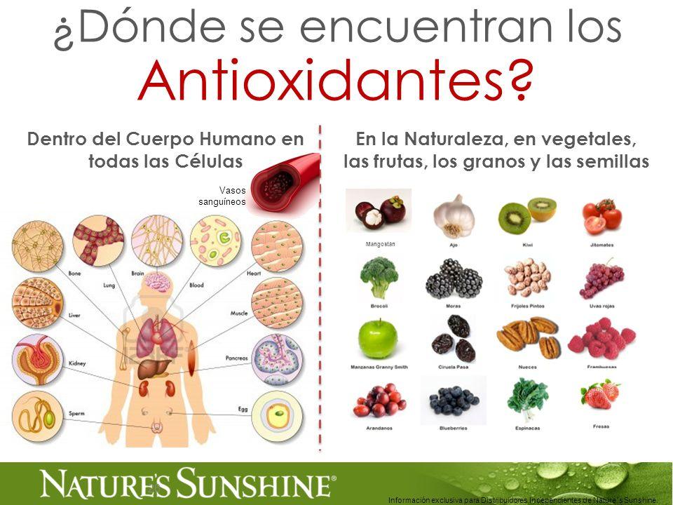26 ¿Dónde se encuentran los Antioxidantes? Dentro del Cuerpo Humano en todas las Células Información exclusiva para Distribuidores Independientes de N