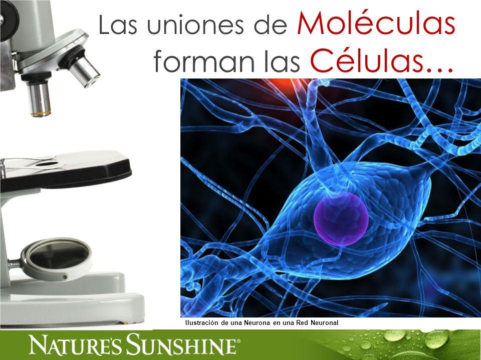 Ilustración de una Neurona en una Red Neuronal Las uniones de Moléculas forman las Células…