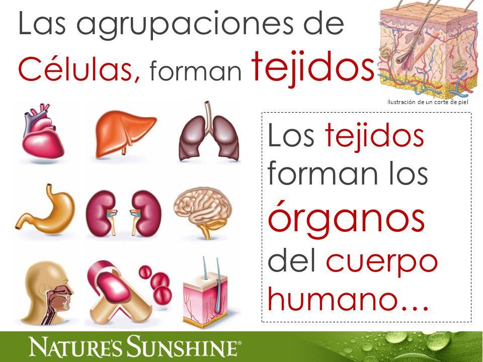 Las agrupaciones de Células, forman tejidos Los tejidos forman los órganos del cuerpo humano… Ilustración de un corte de piel