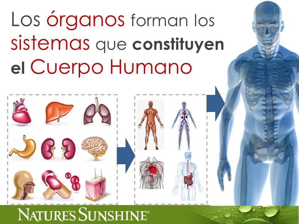 Los órganos forman los sistemas que constituyen el Cuerpo Humano