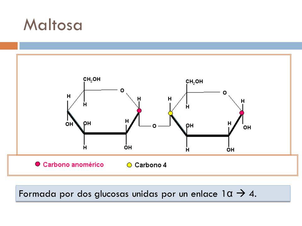 Maltosa Formada por dos glucosas unidas por un enlace 1 α 4.