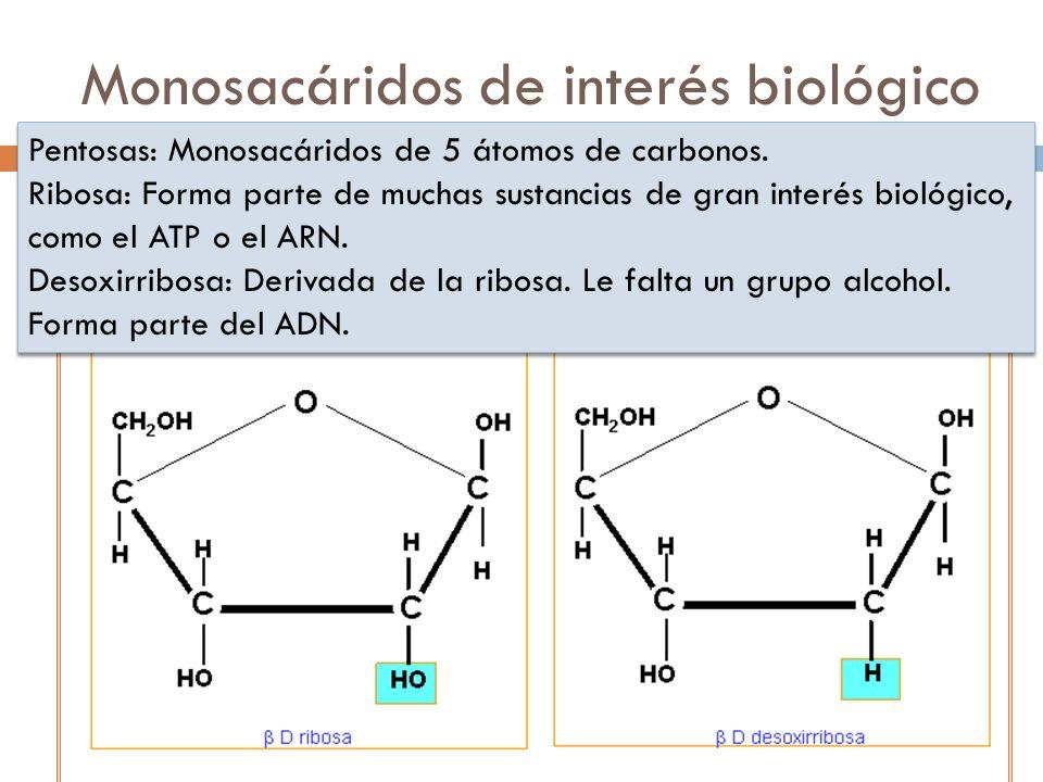 Monosacáridos de interés biológico Pentosas: Monosacáridos de 5 átomos de carbonos. Ribosa: Forma parte de muchas sustancias de gran interés biológico