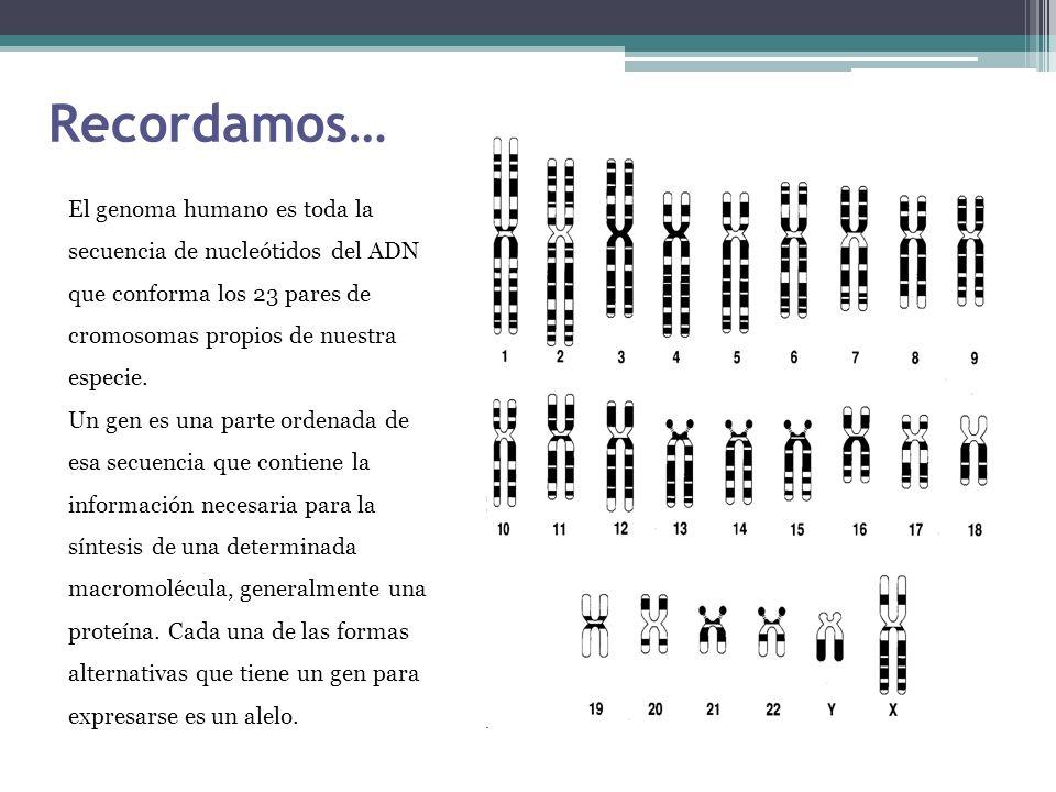 Recordamos… El genoma humano es toda la secuencia de nucleótidos del ADN que conforma los 23 pares de cromosomas propios de nuestra especie. Un gen es