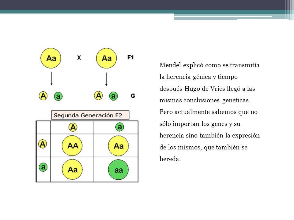 Mendel explicó como se transmitía la herencia génica y tiempo después Hugo de Vries llegó a las mismas conclusiones genéticas. Pero actualmente sabemo