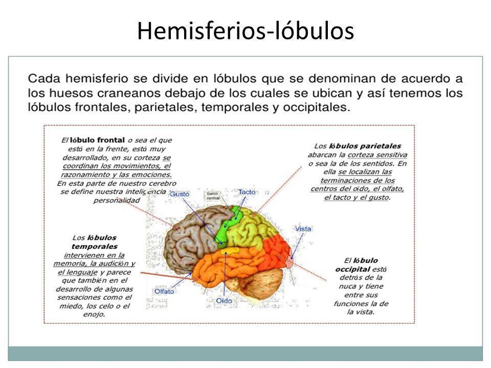 Hemisferios-lóbulos